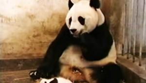 【爆笑動画】ビックリしすぎのパンダが萌える(笑)