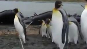 【動物動画】ペンギンがロープにひっかかって前に進めない!! 遊んでいるペンギンも?