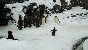 ハイテンションなペンギンちゃんが激ヤバ! 何があったんだ(笑)