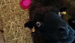 子を守る母羊の顔が面白すぎるよ