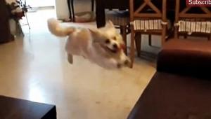 犬の凄い跳躍からの大失敗が面白い!!