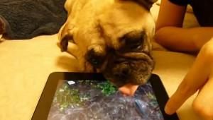 iPadアプリに騙されているフレンチブルドッグが可愛い!