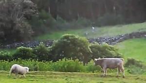 若い牛に頭突きを教える羊!必死に教えるけど若い牛はよくわかってない(笑)