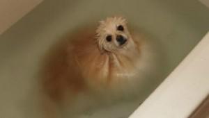 ポメラニアンをお風呂に入れてみたら別の生物になった