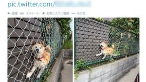 犬が柵に挟まっている画像が可愛いと話題に
