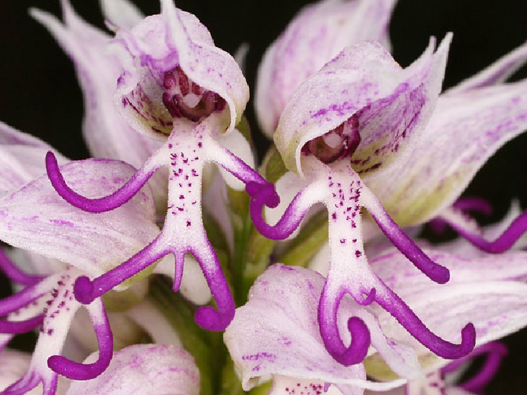 new_flowers-look-like-animals-people-monkeys-orchids-pareidolia-20