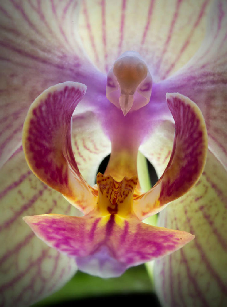 new_flowers-look-like-animals-people-monkeys-orchids-pareidolia-9