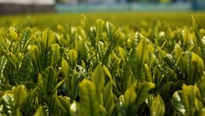 結局は「緑茶」こそが最も安全で効果の高いダイエット飲料かもしれない!!