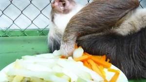 【衝撃動物】ナマケモノがナマケモノすぎて世界中から「かわいすぎる」の声!