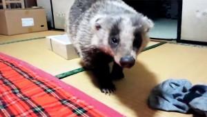 【衝撃】夜になると野生のアナグマが家に入ってきて遊んでいくんだが(笑)