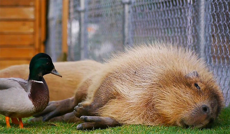capybara-ahiru