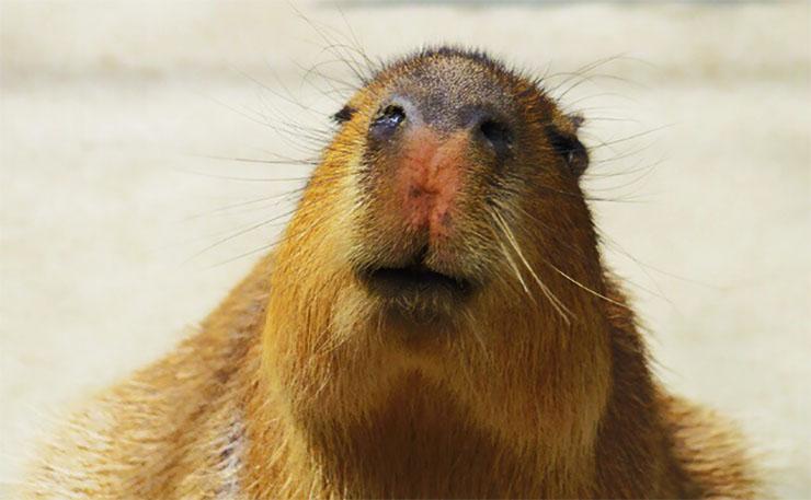 capybara-iru1