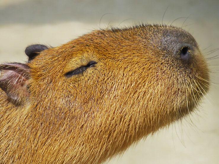 capybara-kawaii