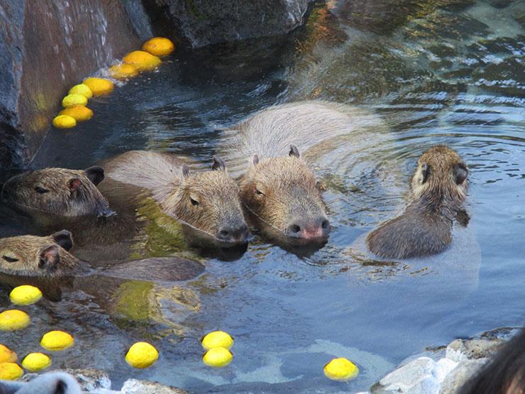 capybara-kawaii1