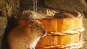 風呂に入るカピバラ家族 / 巨大カピバラが強引に風呂に入る! カピバラ「マジやめろぉぉぉ! 死ぬゥゥゥ!」