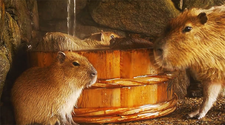 capybara-ofuro2