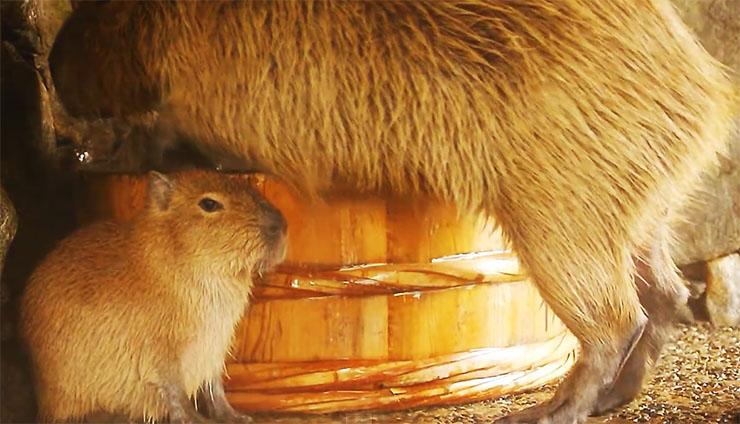 capybara-ofuro3