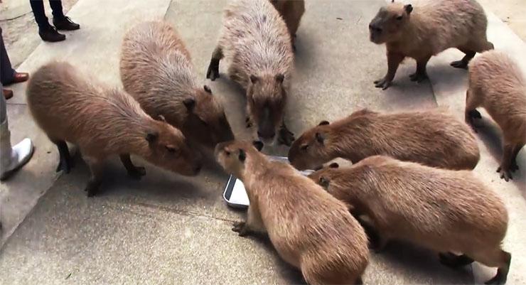 capybara-suika