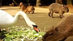 カピバラ「キャベツうめぇぇぇぇぇ!」 白鳥「おまえ何しとんじゃボケ! ワシのキャベツじゃ!!」