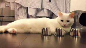 【必見】究極動物! どこに玉が入っているか完璧に当てる猫!