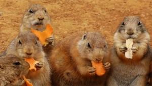 【究極動物】エサを手に持って食べるプレーリードッグがキュートすぎる件!
