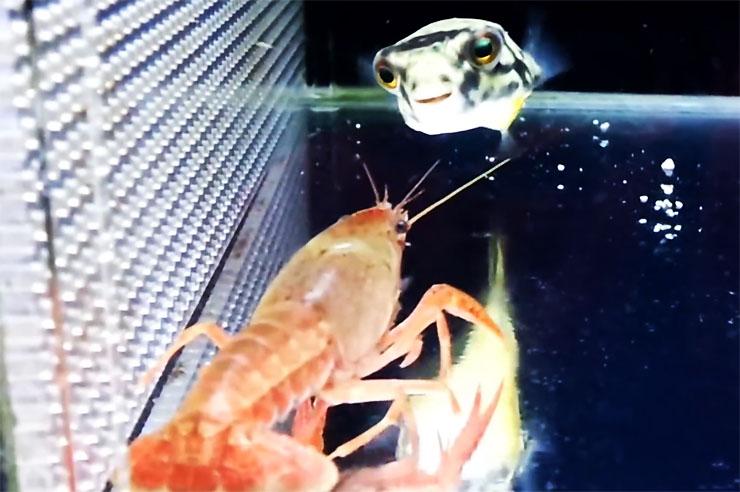fugu-vs-zarigani