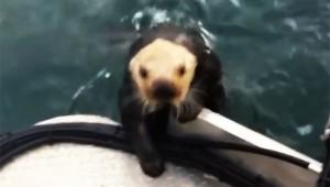 【衝撃映像】シャチに食われそうなラッコが船に乗ってきた!「助けて食われるゥ!」