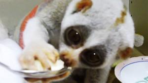 【最強動物】ヤベェ! バナナを食べるスローロリスが宇宙の法則が崩れるほどカワイイ!
