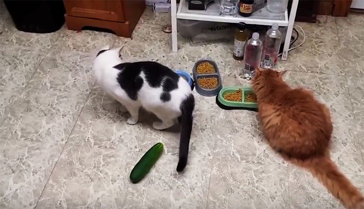 cats--vs-cucumbers1