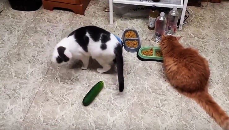 cats--vs-cucumbers2