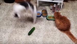 【衝撃】猫の最大の敵はキュウリだった! キュウリの存在に気がつき恐怖する猫たち