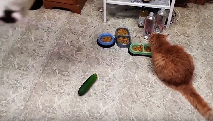 cats--vs-cucumbers4