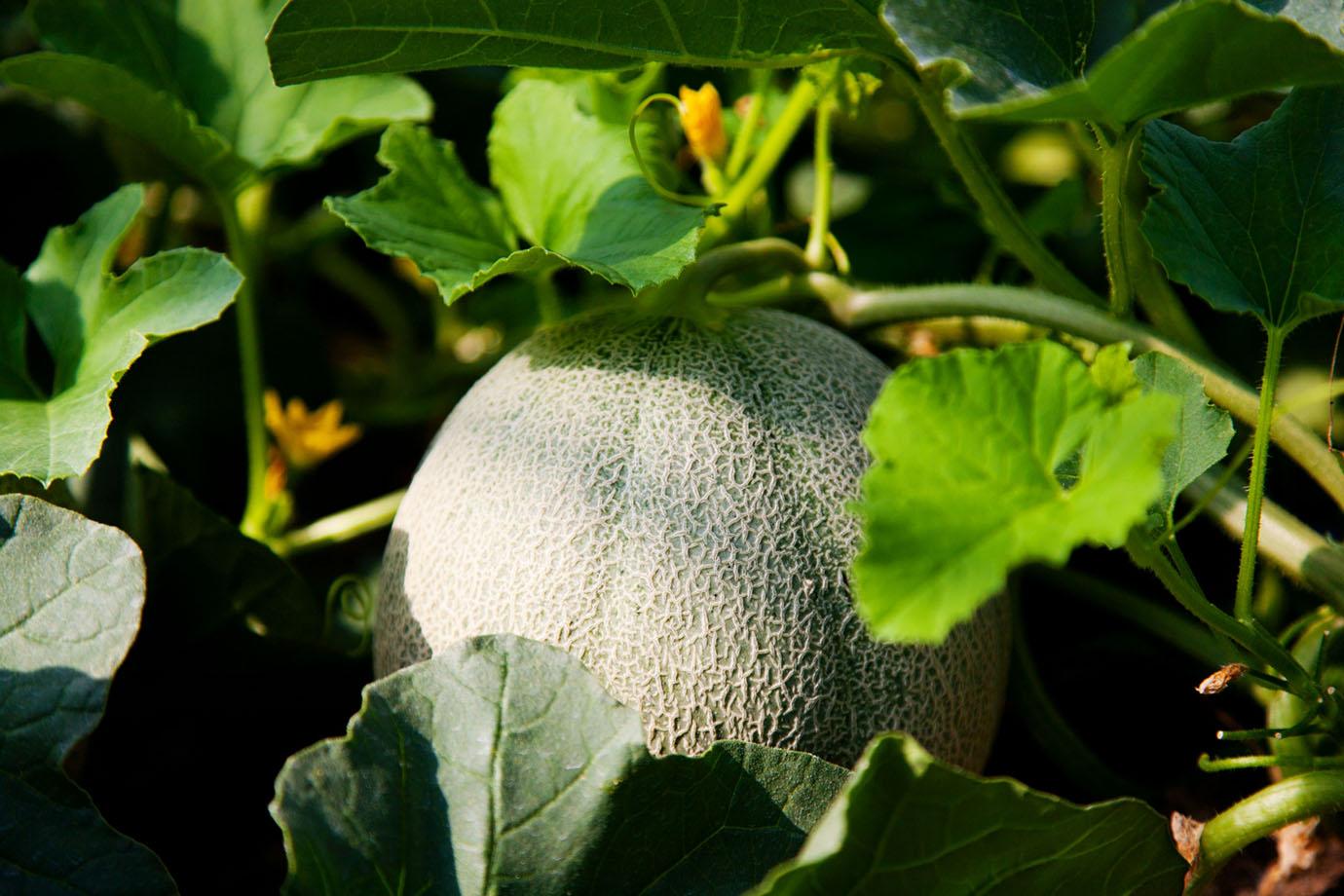 melon-image1