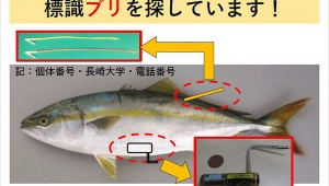 【緊急拡散】長崎大学が行方不明のブリを探しています / 記録計がついたブリを発見した人は至急連絡してください