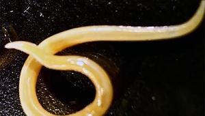 【緊急事態発生】42000年前の虫が永久凍土から復活 / 続々と古代生物が出現する可能性アリ「回虫だけでなく他の生物も復活ありえる」