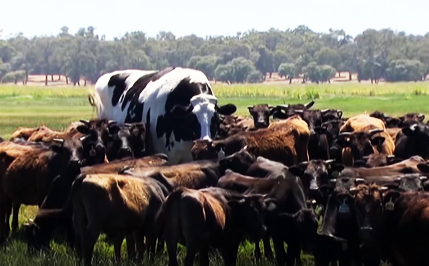 giant-cow1