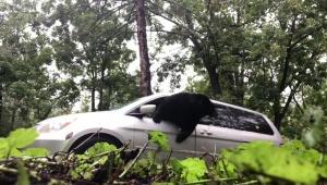【衝撃動画】車に乗ろうとしたら巨大なクマが乗ってた件 / 我慢の限界に達したクマがヤバイ行動に