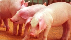 【悲惨】中国で大規模な豚コレラ発生か / 各地から絶命した豚動画を発信「豚を中国から外国に持ち出さないで」