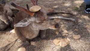 【悲報】ついに奈良公園の鹿が鹿せんべいに飽きた / 鹿せんべいを完全にスルー