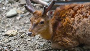 【悲報】奈良公園の鹿せんべい値上げ決定 / 150円から200円になる「消費税増税や材料費高騰により」
