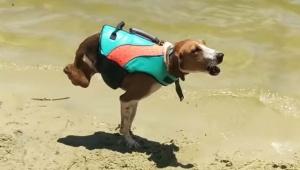 【犬ニュース】後足がない犬がパワフルに走りまくる動画に世界中が感動