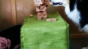 【犬ニュース】賢すぎる犬が賢すぎる件 / 人間と一緒にジェンガで遊ぶ「しかも天才的に上手い」