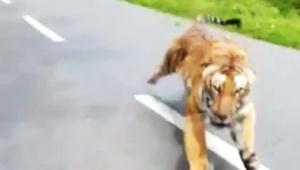 【ヤバイ動画】バイクに乗っていたら虎に追いかけられた件 / バイクじゃなかったらヤバかった
