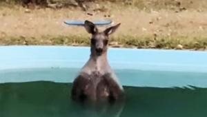庭のプールを見たらカンガルーが入っていたのだが / 衝撃の癒やし動画