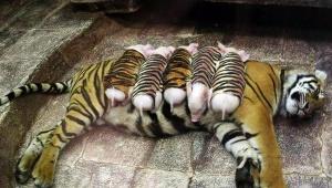 【感動】子虎を亡くして失意の母虎に虎コスプレの子豚を与えた結果
