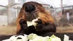 【衝撃】見るだけでストレス17%解消するビーバーがキャベツ食べる動画が大絶賛「最高すぎる」「音がイイ」
