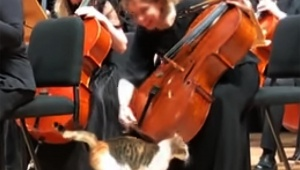 【癒やし動画】オーケストラ会場に猫が乱入して大絶賛されるYouTube動画