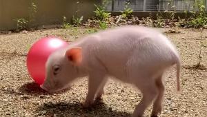 【話題】100日後に食われるブタの動画が大人気 / 2021年2月27日生まれのミニブタが食われるまでのYouTube豚動画